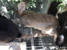 Кролики крупные