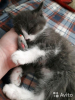 Отдаём котёнка(мальчик, породы норвежская лесная)